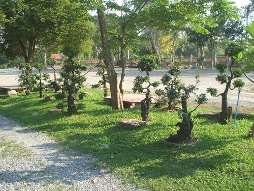 thai tree in landscape design