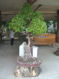 Thai bonsai tree